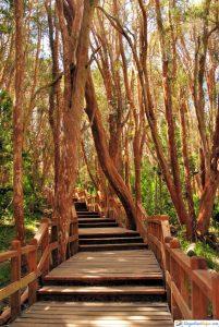 bosque de arrayanes- villa la angostura